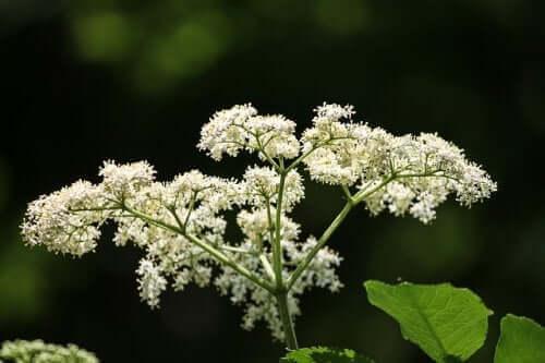 Denne blomst kan reducere symptomer på neuralgi