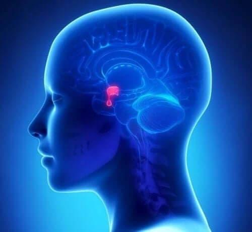 Del af hjernen er vist med rød