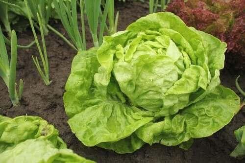 Salatsorter og hvordan man dyrker dem