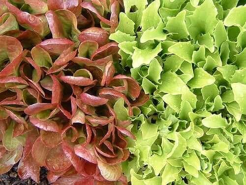 To forskellige typer salat