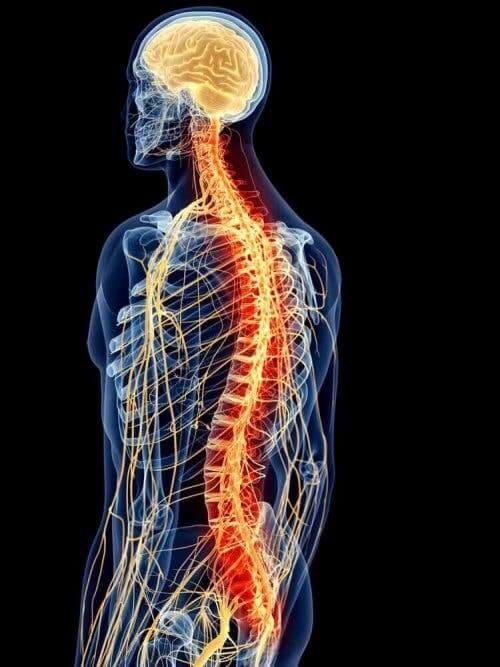 Illustration af rygmusklernes anatomi