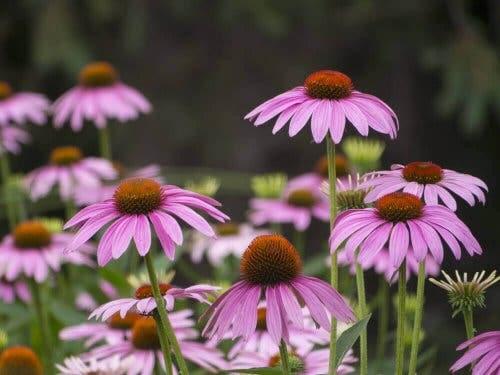 Pinke sommerblomster