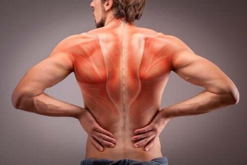 Alt om rygmusklernes anatomi