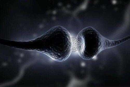 Synapsen er det område, hvor neuroner kommunikerer med hinanden