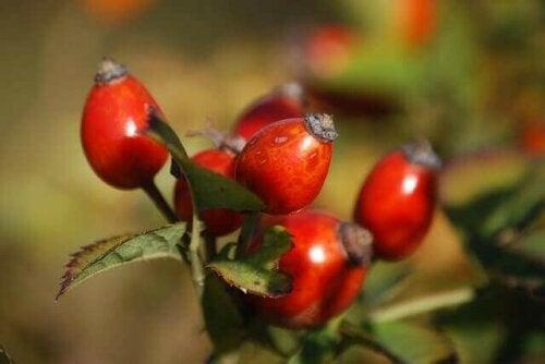 Frugter til hybente