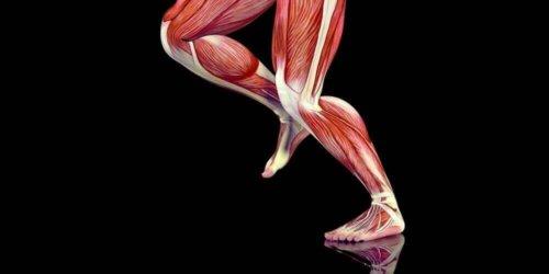 Illustration af muskler i ben