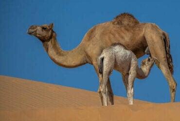 Egenskaber og fordele ved kamelmælk