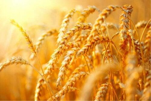 Korn på mark