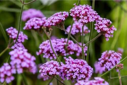 Jernurt blomster