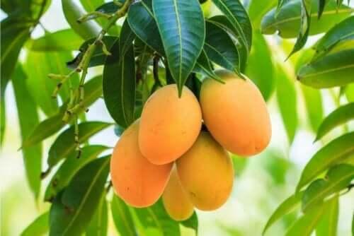 Mangoer på træ