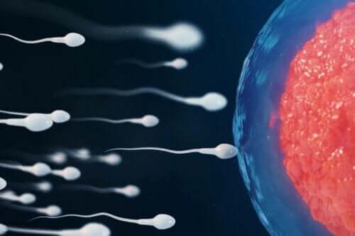 Illustration af befrugtning, når man vil blive gravid efter sex