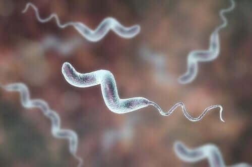 Infektioner med campylobacter er meget gængse