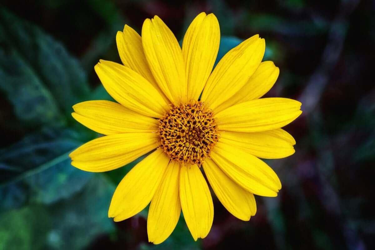 Arnica er en plante fra Europa, der har gavnlige sundhedsegenskaber