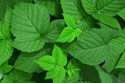 Hindbærblade er gængse medicinske urter