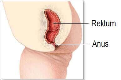 Illustration af anus og rektum