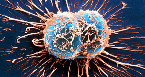 Hvorledes immunsystemet kan bekæmpe kræft