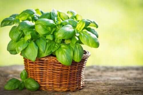 Typer af basilikum, du kan dyrke i din have